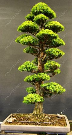tree seeds, 50 pine Bonsai Japanese Cedar seeds Semillas rare tree seeds cedar wood plants for home garden pot