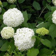 thisoldhouse.com   from Best Plants for a Cottage Garden. Partial shade, good along the west fence. Annabelle Hydrangea.