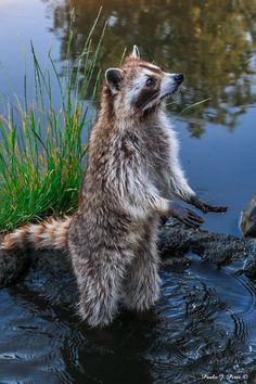 Raccoon by Paulo Pires on 500px