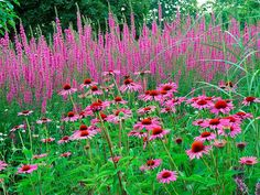 Lythrum salicaria and coneflower Click to enlarge