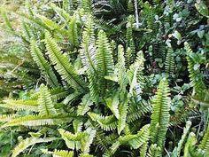 fishbone ferns