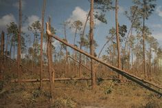 Pinelands After Hurricane AndrewHurricanes cause a lot of damage to the Everglades. The Pinelands area after the 1992 Hurricane Andrew. NPS Photo.