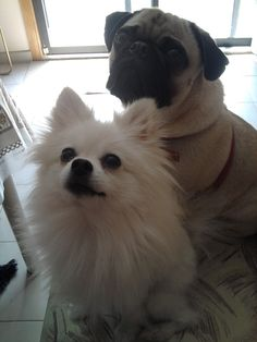 white pomeranian and pug