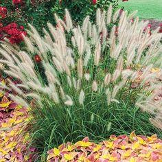 Dwarf Fountain Grass - Michigan Bulb