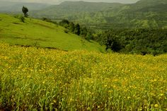 Kaas/Kas Plateau - Valley of flowers, Maharashtra