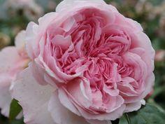 'Alexandra Princesse de Luxembourg' * - Kordes (2009). Trosroos. Zachtroze geurende bloemen (10cm). Robuust en zeer gezond. 120cm x 80cm.