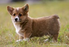 are you my mommy corgi?