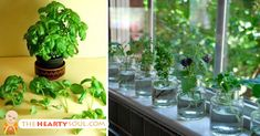 "Republished with permission from naturallivingideas.com.   Do you have a few favorite ""go-to"" herbs? Why not grow them in water and keep them close at hand on the kitchen window sill or right on the counter? Water-grown herbs are just as flavorsome as those you grow in the garden. You don't have to mess with... View Article"