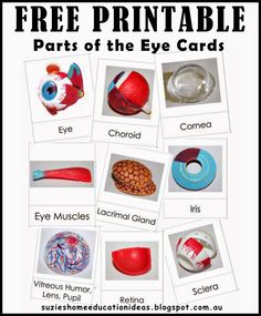 5 ways to learn about our Eyes plus FREE PRINTABLE parts of the eye cards