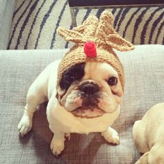 """Merry Christmas!"", Manny French Bulldog in Reindeer Hat, manny_the_frenchie's photo on Instagram"