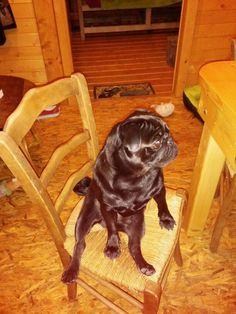 Harper #pugstyle #sitting
