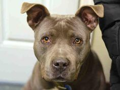 GONE - 02/24/15 --- RETURNED 2/12/15 ---  SAFE RTO12/24/14  --- Brooklyn Center   BARACK - A0837671  ***RETURNED 12/2/14***  MALE, GRAY / WHITE, PIT BULL MIX, 6 yrs OWNER SUR - EVALUATE, HOLD FOR ID Reason PERS PROB  Intake condition EXAM REQ Intake Date 12/02/2014, From NY 11434, DueOut Date 12/02/2014,  https://www.facebook.com/Urgentdeathrowdogs/photos/pb.152876678058553.-2207520000.1417563146./915464681799745/?type=3&theater