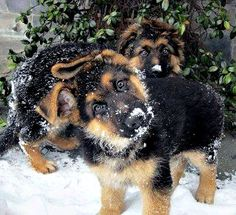 German Shepards……so cute!!