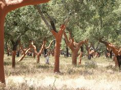 Interplanted wheat and cork oak (quercus suber) provide three crops from the same area of land: grain, cork and acorns for acorn-reared pork. Zone 7-11