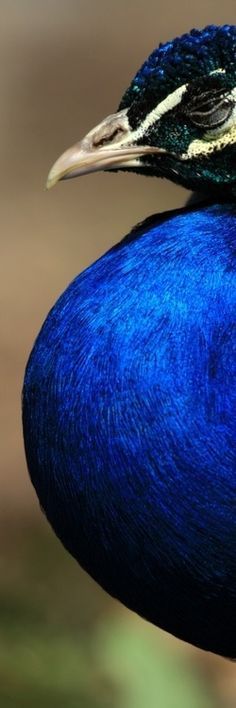 Birds of a Feather… peacock Pretty Birds, Love Birds, Beautiful Birds, Animals Beautiful, Behind Blue Eyes, Fotografia Macro, Peafowl, Mundo Animal, Wild Life