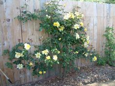Plant details for . Plant Images, Climbing Roses, Showers, Garden, Plants, Wall, Pink, Garten, Lawn And Garden