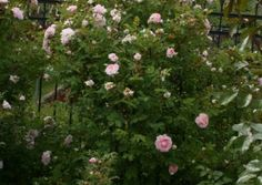 'MARTIN FROBISHER' rugosa, 120 -160 cm , Abstand 80cm Plants, Environment, Bumble Bees, Plant, Planting, Planets