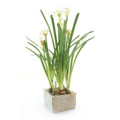Gold Eagle USA Narcissus with Foliage Potted