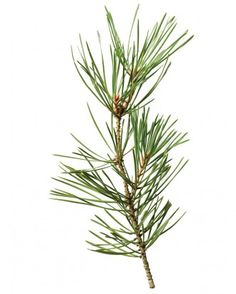 helpful guide to christmas trees - how fragrant, and how long they last.