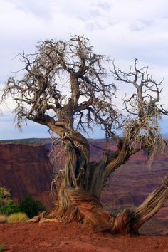 Gnarled Juniper standing upon a cliff in the Mojave Desert