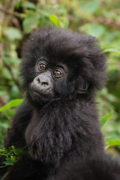 Baby Gorilla, Uganda  by Tim Henshall:  Half of the world's last remaining Mountain Gorillas on the planet are found in the Virunga Volcanoes of Uganda, Rwanda and Congo and the Bwindi Impenetrable Forest in Uganda, one of the most biologically diverse areas of the world.  #Gorilla
