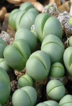 Succulent Plant - Argyroderma Subalbum. Cute little plants that at first sight give appearance of rocks.