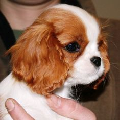 Image result for baby cavalier king charles spaniel