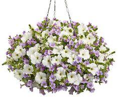 Superbells® Miss Lilac Calibrachoa hybrid. Supertunias® White Petunia hybrid. Whirlwind® White Fan Flower