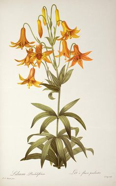Lilium Penduliflorum Painting by Pierre Joseph Redoute - Lilium Penduliflorum Fine Art Prints and Posters for Sale