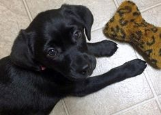 Hailey the Labrador Retriever Mix puppy - very cute and sweet