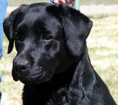 Labradors! This would look like Bucks, if he had a blue eye. =)