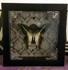 Ornate Dark Gothic Taxidermy Graphium Codrus by RevenantArts