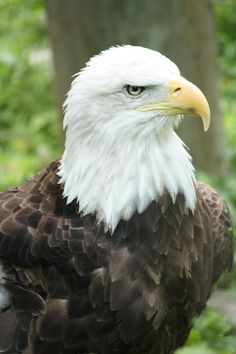 Bald Eagle by ~ EdgedFeather First recorded an eagle in 1978 at Vetersn's Park in St. Pete, Fl.