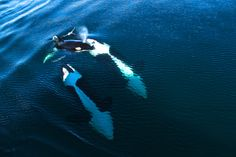 Baby orca (killer) taking a breath of fresh air in the wild! Channel Islands,  CA