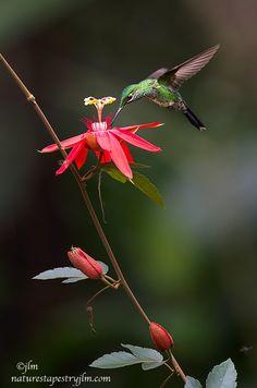 Beautiful Bird Flying Costa Rica 36 Ideas For 2019 Most Beautiful Birds, Pretty Birds, Love Birds, Animals Beautiful, Hummingbird Wallpaper, Hummingbird Pictures, Hummingbird Garden, Jolie Photo, Little Birds
