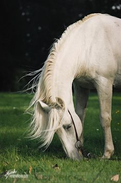White horses always look so majestic (except when they decide to have a roll right after a bath or before a show...)