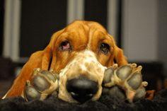 basset hound paws