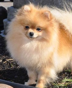 Marvelous Pomeranian Does Your Dog Measure Up and Does It Matter Characteristics. All About Pomeranian Does Your Dog Measure Up and Does It Matter Characteristics. Spitz Pomeranian, Cute Pomeranian, Pomeranians, Little Dogs, Cute Baby Animals, Animals And Pets, Save A Dog, Cute Dogs And Puppies, Doggies