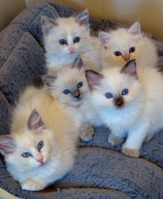Rosecoloured Ragdolls. My favorite feline in the whole wide world! They are sweet and lovely.