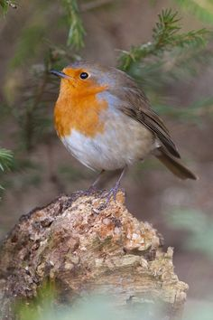 robin, If this is a Robin, it's not like the ones we have in New England..maybe from some other country..it's beautiful!