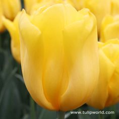 Yokahama Tulip. Strong stem.