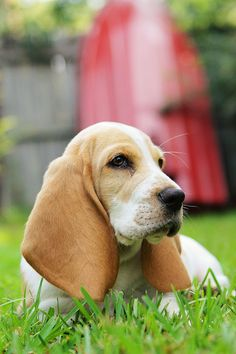 Louie the Basset Hound Puppy. Sometimes I just want to snuggle with a puppy.