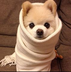 Funny Animal Pictures - View our collection of cute and funny pet videos and pics. New funny animal pictures and videos submitted daily. Animals And Pets, Baby Animals, Funny Animals, Cute Animals, Nature Animals, Spitz Pomeranian, Cute Pomeranian, Pomeranians, Cute Puppies