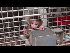 These experimenters laugh as they torment and terrorize baby monkeys. You can stop this. Take action at peta2.com/ChildAbuse.