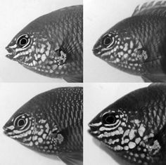 Picture comparing four fishes' faces