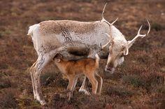 Reindeer mother and suckling newborn calf. Cairngorms, Scotland.: Scottish Reindeer: Arctic & Antarctic photographs, pictures & images from ...
