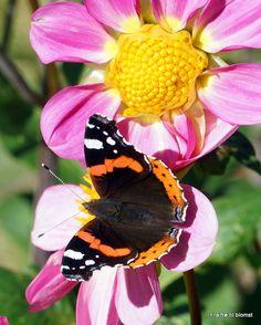 Dahlia  http://frafroetilblomst.blogspot.com