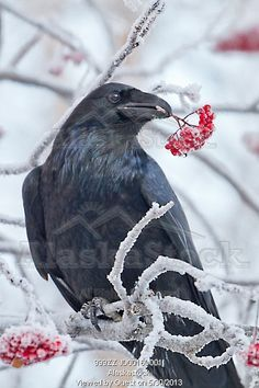 Photo of Close up of a raven with Mountain Ash berries in its beak, Anchorage, Southcentral Alaska, Winter