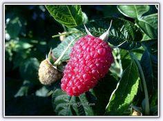 Ahududu - Frambuaz (Rubus idaeus) - Sayfa 2 - Forum Gerçek