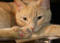 I love my polydactyl cat Figaro~